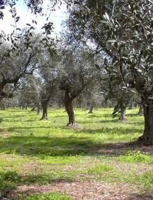 ulivi olive
