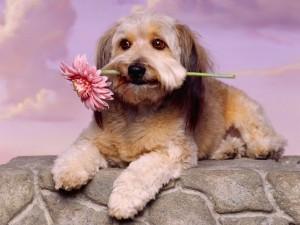 cane fiore