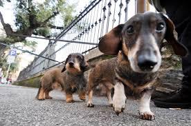 cani a passeggio