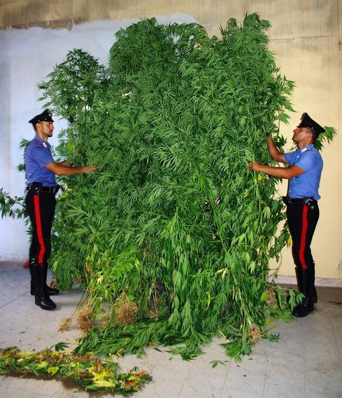 Piante-di-marijuana-sequestrate-dai-Carabinieri